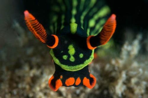 大西洋海神海蛞蝓的生物特征